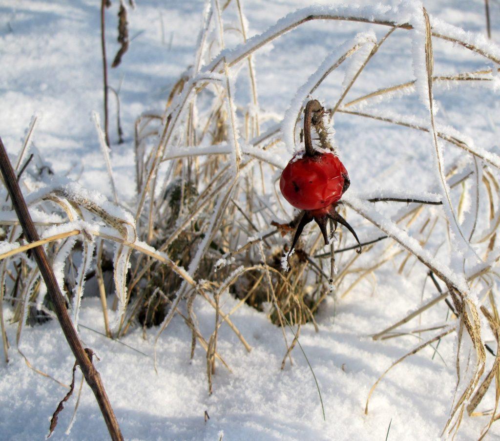 Winter Hagebutte Foto von Christine Hahne