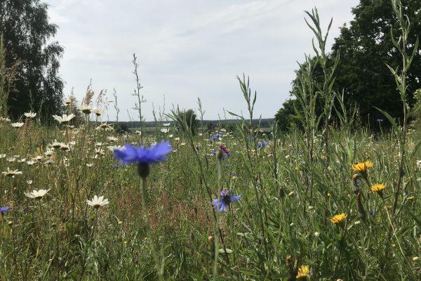Blumenwiese beim Hirseberg Juni 2020 WEB